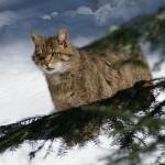 Pisica salbatica 3